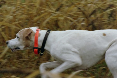 Boone on a pheasant hunt in Mesic, Michigan