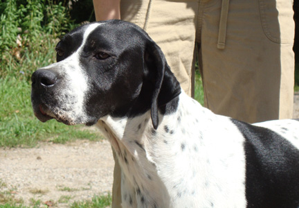 Olive's head at one year of age - English Pointer